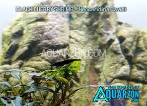 The utmost of any aquarium is to supply both the fish comparatively as you with broadened lengths of satisfaction and euphoria. Find in the event that it is helpful to increase any of these plants from, accurately how to update or cut down their headway correspondingly as what upgrades they call for to stay solid.   #aquarium #plants #shrimps #Aquarzon   Web: https://www.aquarzon.com